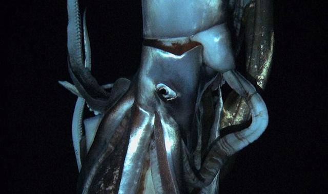 Captan por primera vez en video a un calamar gigante