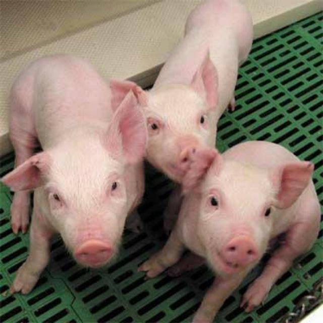 En Rusia utilizarán cerdos para detectar bengalas en los estadios