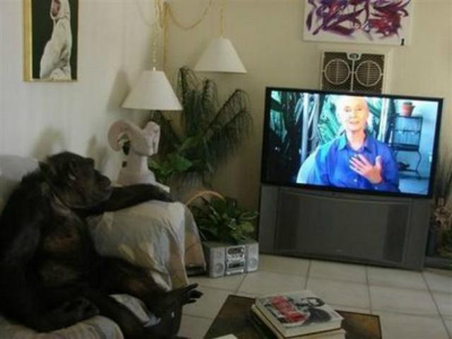 Una chimpancé... ¿qué sólo ve porno en la tele?