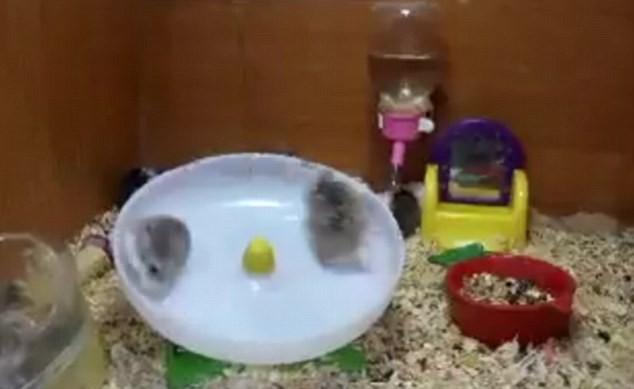 Así se divierten los hamsters