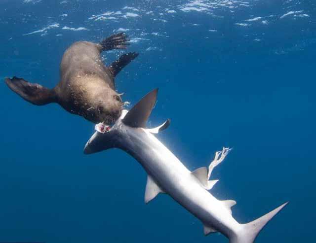 Y ahora un lobo marino devora un tiburón