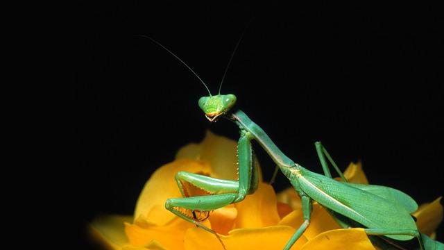 Video: La extraña y fascinante vida de la mantis religiosa