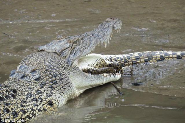 Video: Captan imágenes de un cocodrilo canibal en acción