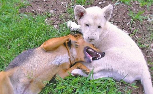 Un perro y un león blanco se ponen a jugar