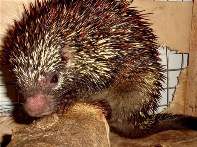 Siguen los descubrimientos animales: ahora en Brasil encuentran una nueva clase de Puercoespín