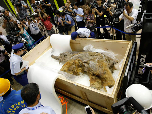 Exhiben un mamut de 39 mil años