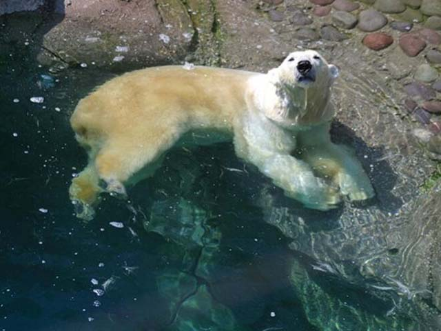 Murió Nanuka, la osa polar más longeva del zoológico de Chapultepec