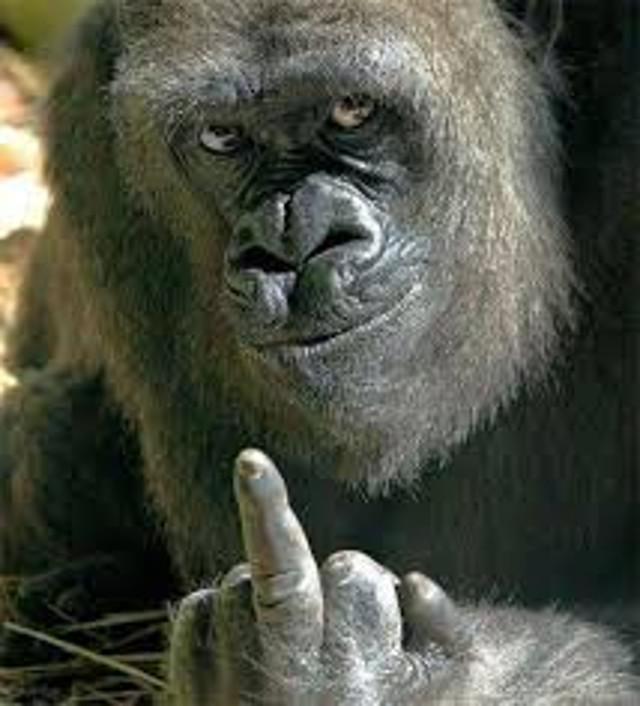 La conmovedora historia del gorila misógino del Bronx (neta es un gorila)