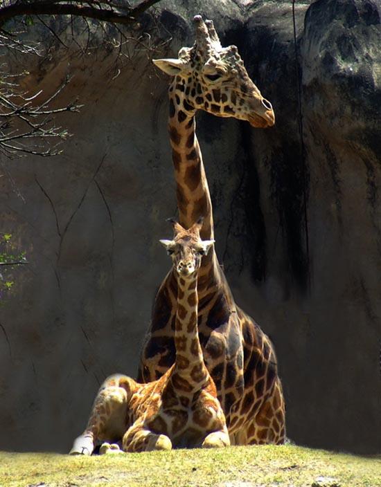 Nacen dos jirafas en el Zoológico de Chapultepec
