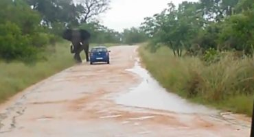 Microinfarto: Elefante vuelca un auto con turistas