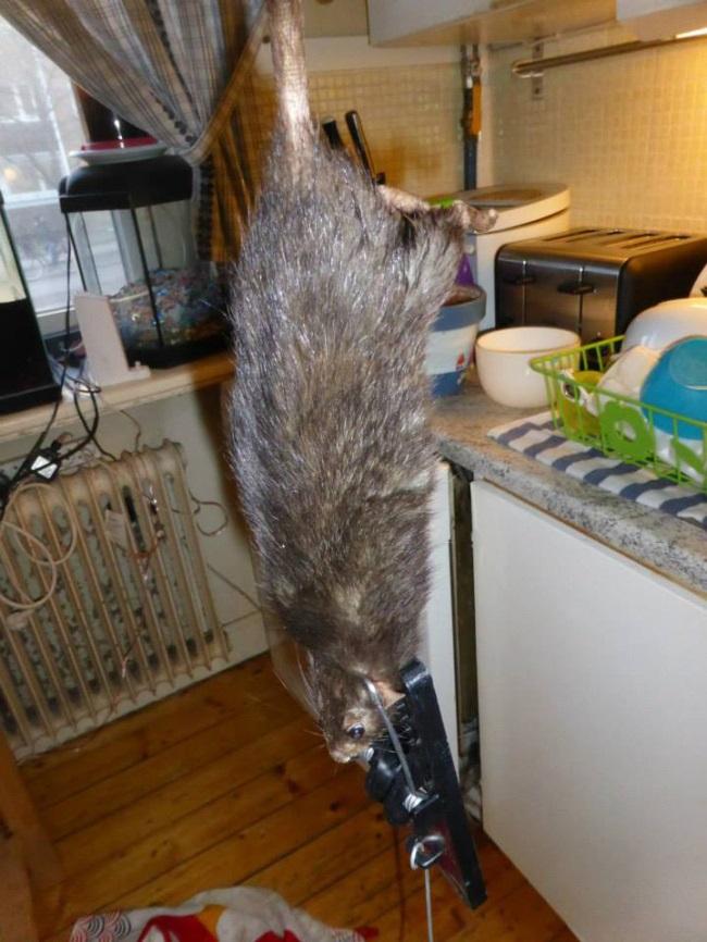 WTF!?: Familia en Suecia atrapa enorme rata
