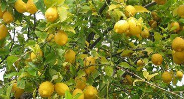 ¿Por qué el limón está tan caro y qué futuro tendrá?
