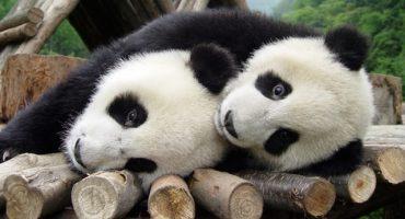 Unos pandas bebés, los sustitutos del Pulpo Paul