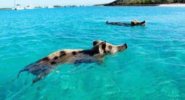 Nadar con cerdos: Una curiosa atracción turística en Bahamas