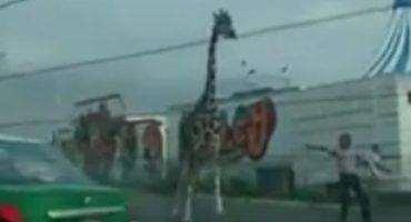 Microinfarto: Jirafa escapa de circo en San Nicolás de los Garza y casi choca con un taxi