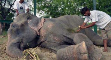 Raju, el elefante que lloró al ser liberado tras 5 décadas de tortura