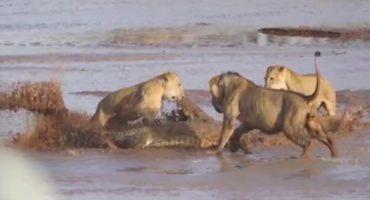 Para quedarse con un elefante muerto, un cocodrilo y tres leonas se enfrentan