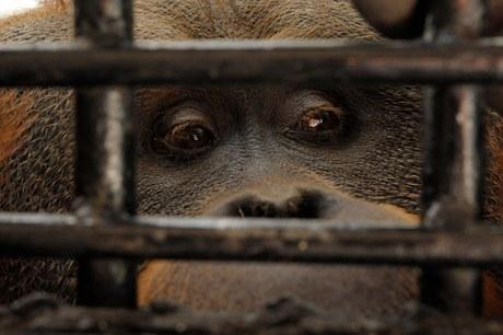 Estudiante de veterinaria es atacada en Chapultepec, orangután le arranca dedo