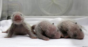 Por primera vez sobreviven al parto unos trillizos de oso panda