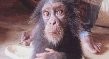 El desolador llanto de un bebé chimpancé, como muestra de la crueldad humana