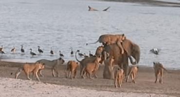 Video: Bebé elefante Vs. 14 Leones hambrientos