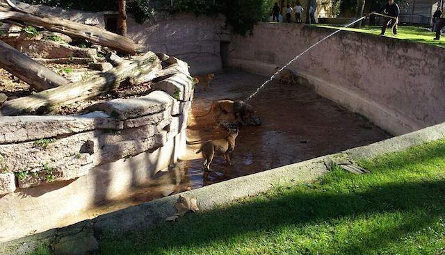 Hombre salta a la fosa de los leones, en zoológico de Barcelona