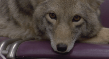 Un coyote toma el tren en el video de Modest Mouse para