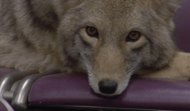 Un coyote toma el tren en el video de Modest Mouse para