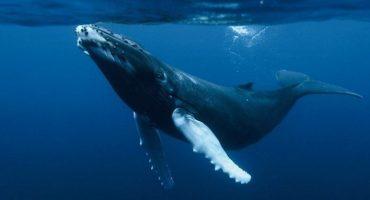 La ballena jorobada podría ya no estar en peligro de extinción