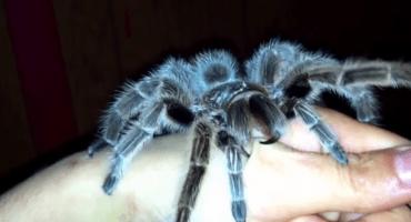 Video: Una tarántula clava sus enormes colmillos en mano de su dueño