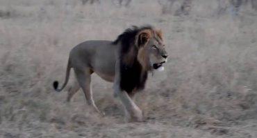 Zimbabue no llora muerte de Cecil, dice doctor en carta publicada por NYT