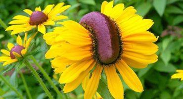 Conoce las flores mutantes que crecen en la zona cero de Fukushima