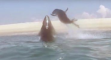 El momento en el que una foca escapa al ataque de un tiburón