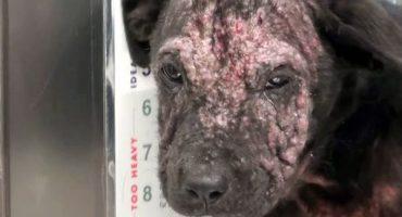 La sorprendente transformación de un cachorro enfermo al ser adoptado