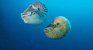 Después de 30 años, especie de Nautilus es capturada en fotografías