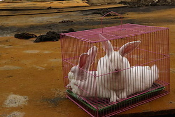 Autoridades chinas están usando conejos para probar que Tianjin es un lugar seguro