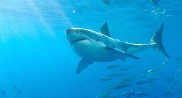 El tiburón blanco más grande del mundo se encuentra en México