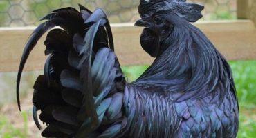 Pollos 'góticos': las aves que son totalmente negras