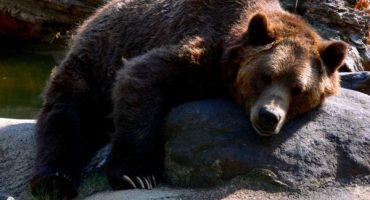 En Estados Unidos, sacrifican a osa por matar a excursionista