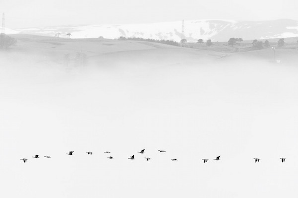 """""""Pink-footed Geese in Mist"""" de Terry Whittaker. Categoría: naturaleza británica en blanco y negro."""