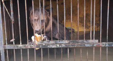El drama de los animales atrapados en el zoológico inundado de Rusia