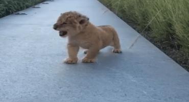 Este cachorro león intentado rugir es todo lo que necesitan para despertar