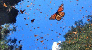 Mariposas monarca cambian de ruta por el huracán Patricia