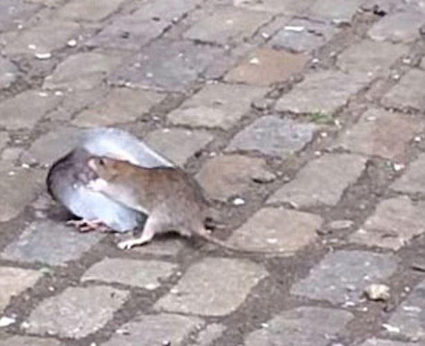 En la imagen del día: la pelea entre una paloma y una rata en NY