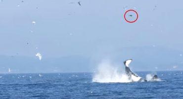 Mágico mundo animal: Orca catapulta a foca