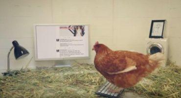 Ponen a gallina a tuitear y ya tiene más seguidores que ustedes