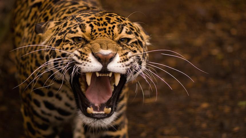 El gran salto que dio un jaguar para cazar a un caimán