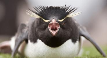 Encuentran fósil de mítico y poderoso pingüino gigante