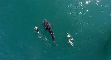 Explorando Baja California Sur, así se ve un tiburón ballena desde el cielo