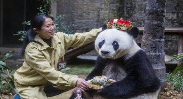 ¡Así celebró este panda su cumpleaños número 35!